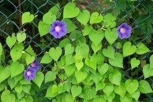 La Ipomea es el género más grande en la familia de plantas con flores Convolvuláceas