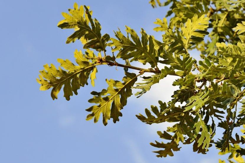 Hojas del Quercus pyrenaica