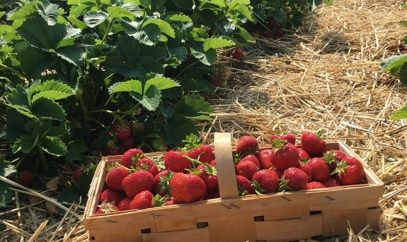 recogida y cultivo de fresas