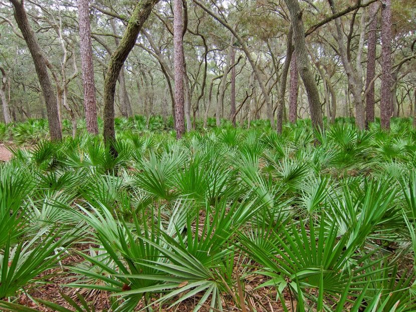Las Serenos repens son palmeras ideales para jardines pequeños