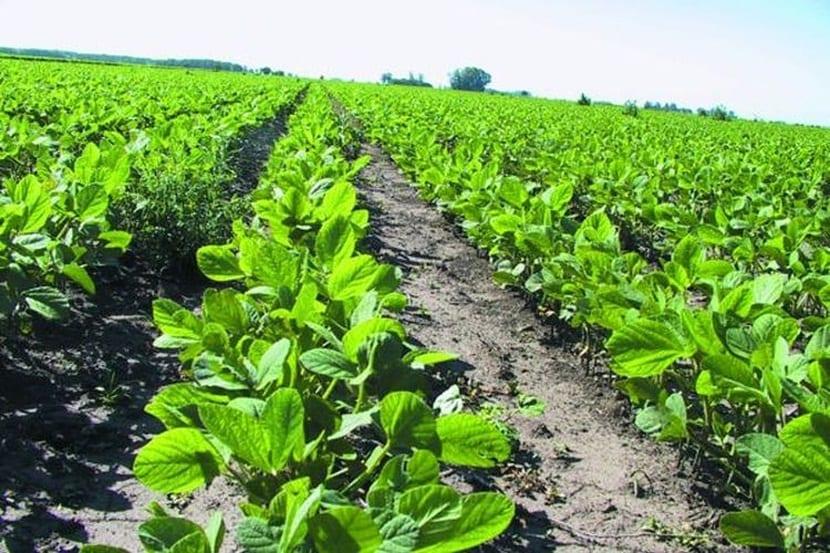 El cultivo de la soja