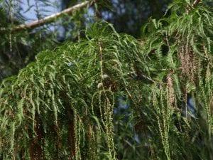 Hojas de Taxodium mucronatum