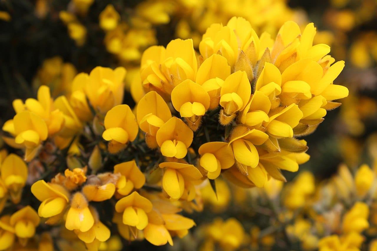 Flores del toxo