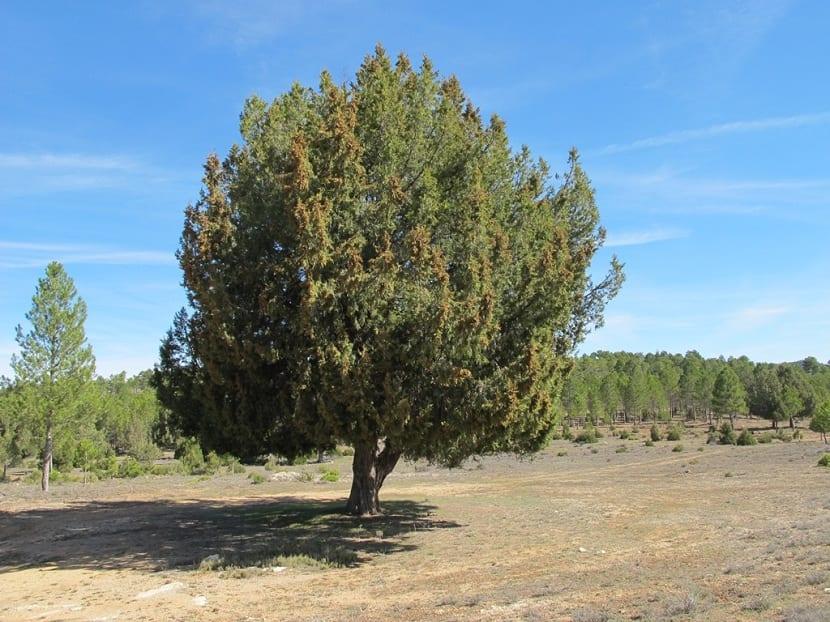 Árbol sabina