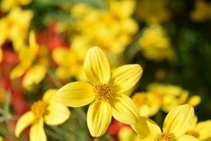 Bidens ferulifolia, también conocida como verbena amarilla