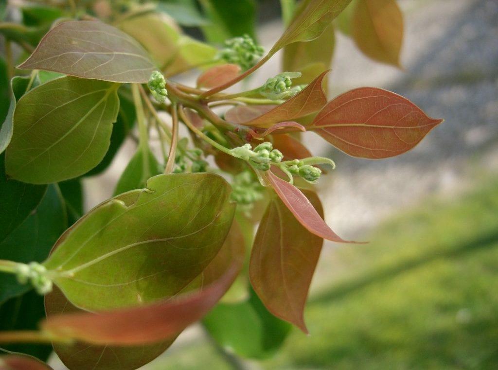 Vista de las hojas del alcanforero
