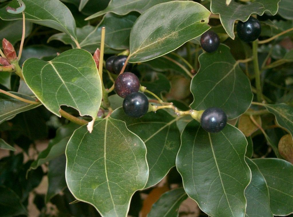Las hojas del alcanforero son simples y lanceoladas