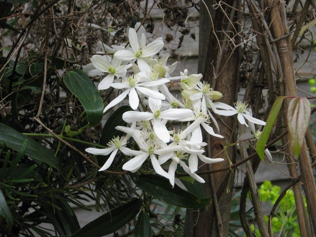 Planta de Clematis armandii