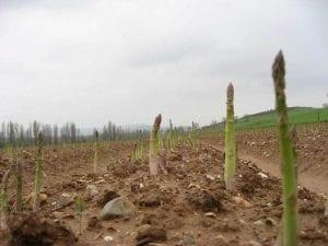 Cultivo de espárragos