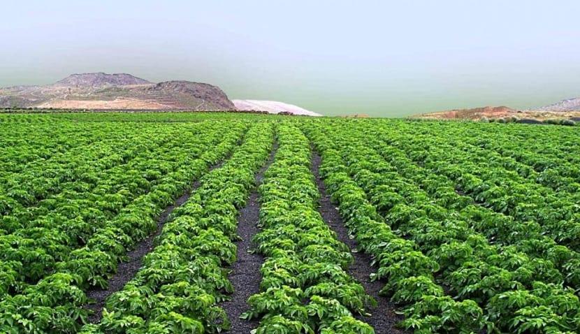 Cultivo de espárragos verdes