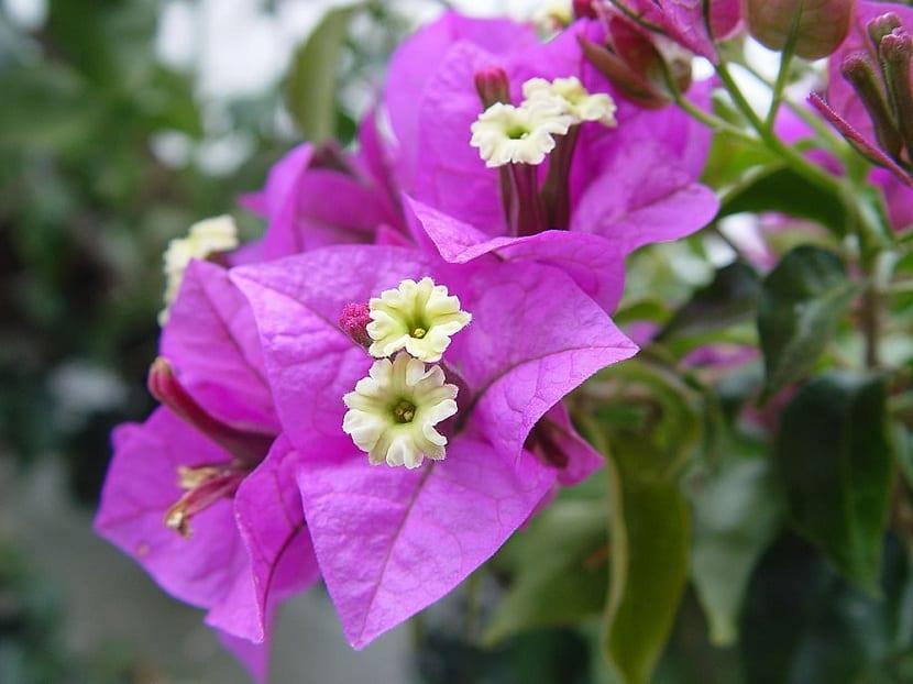 Detalle de la flor de la buganvilla