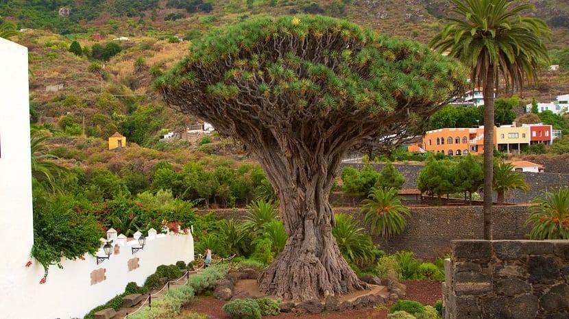 Esta es una planta que es arbórea que es bastante común en el clima subtropical en Macaronesia