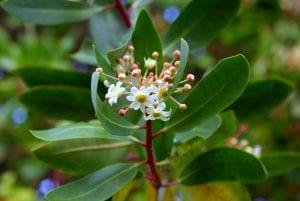 Flor del Drimys winteri
