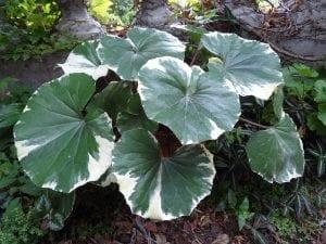 Farfugium japonicum 'Argenteum'