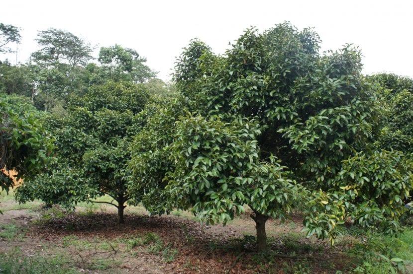 El mangostán es un frutal muy decorativo