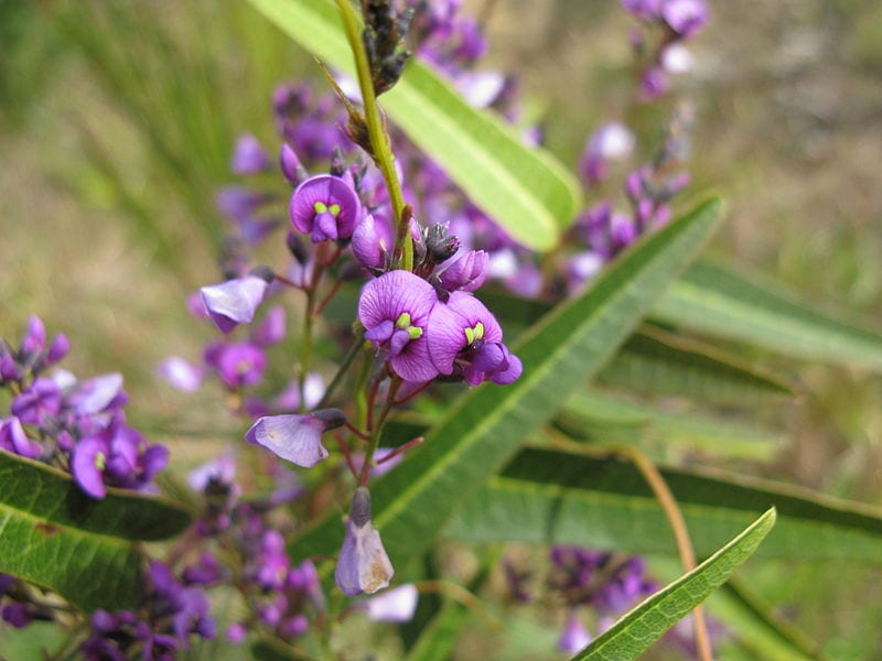 Hardenbergia violacea en flor