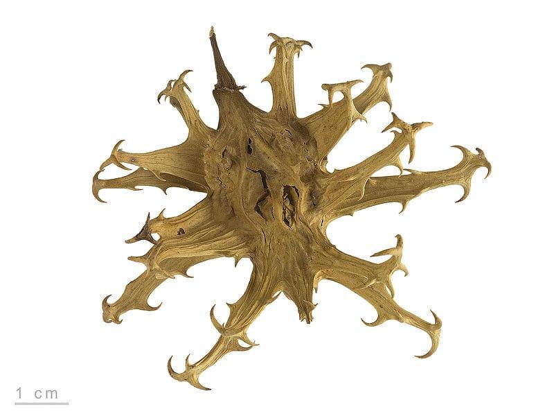 Cápsula del harpagófito