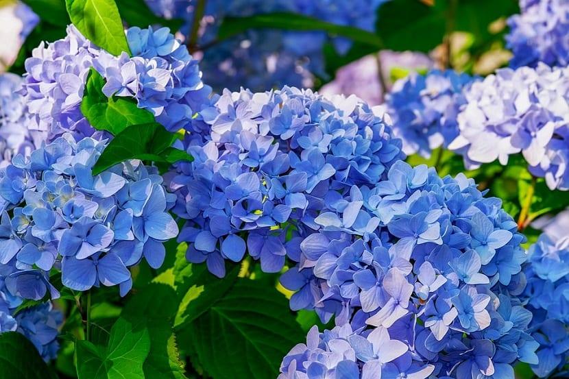 ¿Puedes cambiar los colores de las flores de hortensia?, sí, solo depende de tu tipo de hortensia y del pH de tu suelo