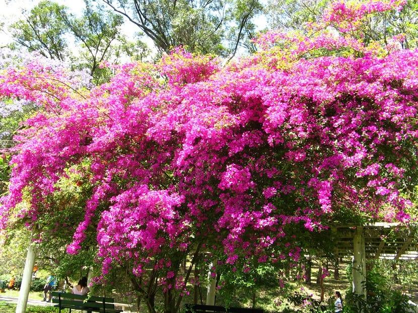 Jardines con Bougainvillea glabra