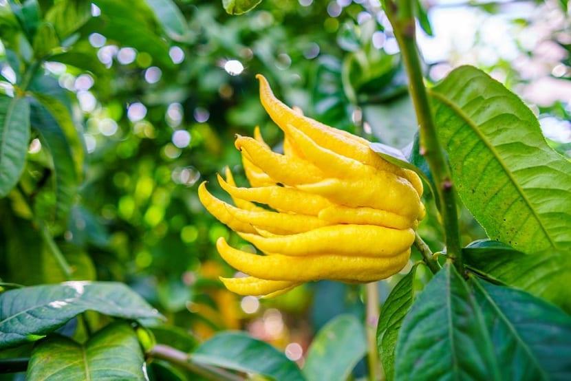 Limón de mano de buda (Citrus medica)