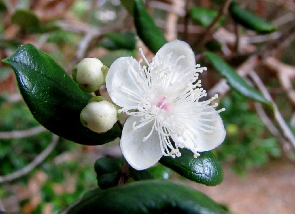 Las flores del arrayán son pequeñas y blancas