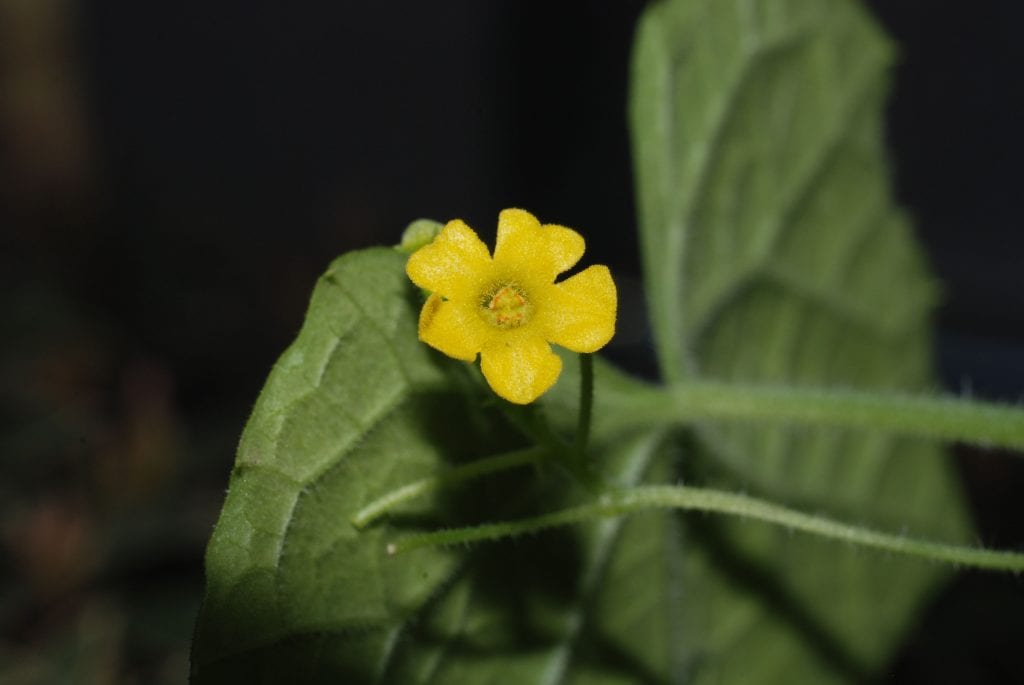 Flor de cucamelon