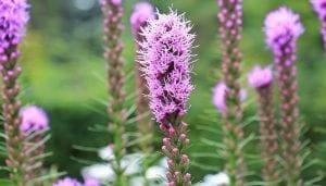 Esta es una planta que puede tener una medida aproximada de entre los 60 centímetros y 1.5 metros de alto