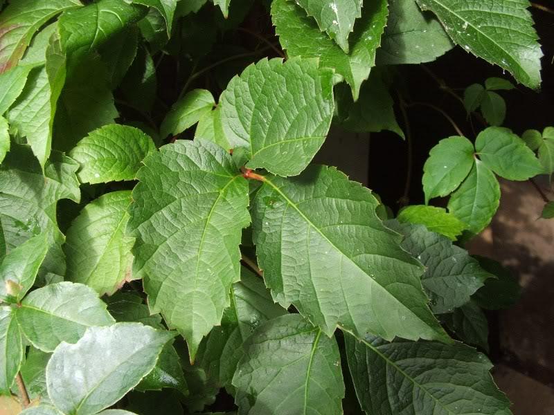 El Parthenocissus semicordata es una trepadora de hoja caduca