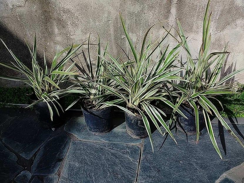 Esta planta proviene de Nueva Zelanda y lo que más llama la atención de la misma es su follaje abundante
