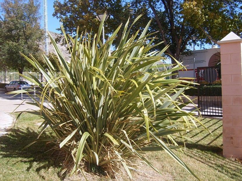 Phormium o Formio como también se le conoce, son plantas de larga duracion