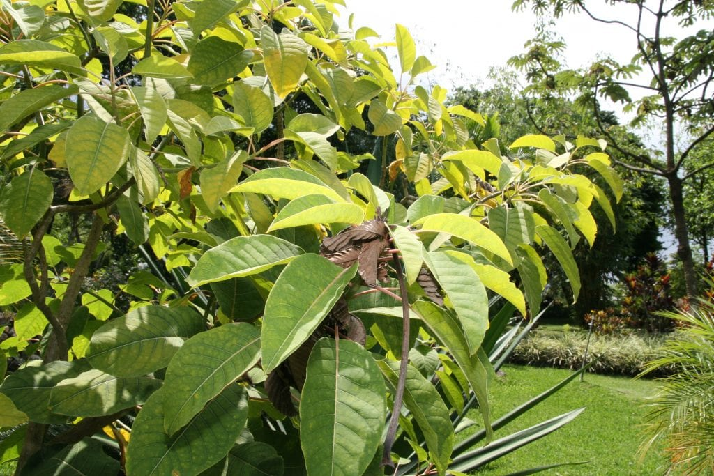 Phytolacca dioica es el nombre científico del ombú