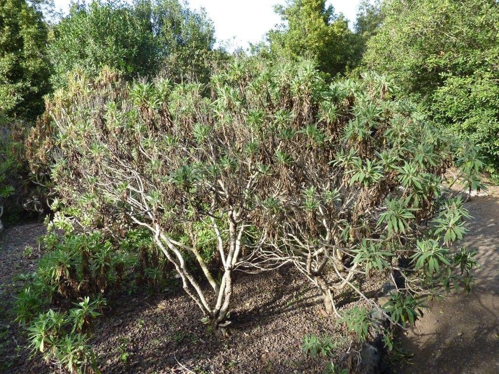 Arbusto de rosalillo de cumbre