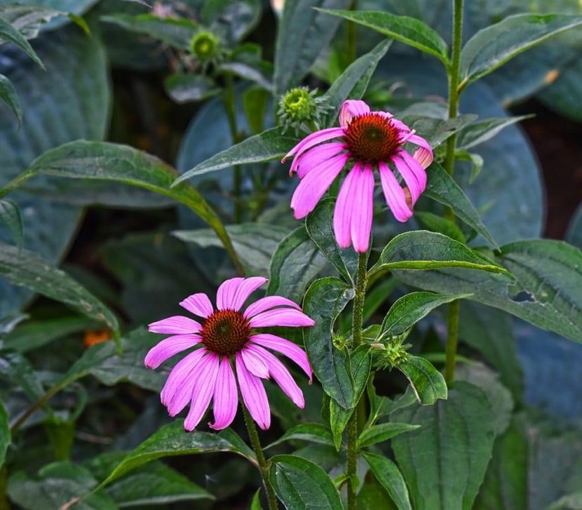 Características de la Rudbeckia Purpura