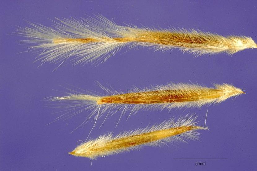 Semillas de Stipa tenacissima