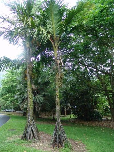 La Verschaffeltia splendida es una palmera con raíces adventicias