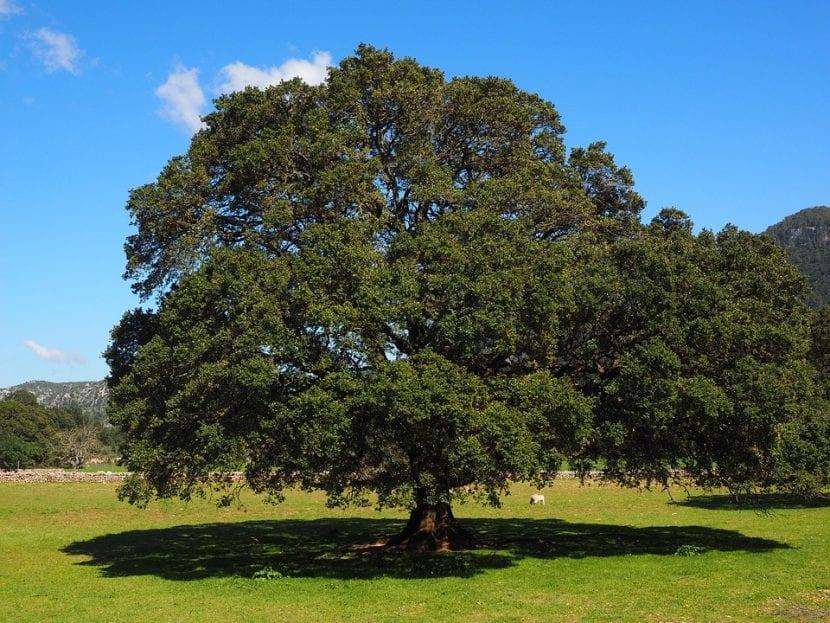 El alcanforero es un árbol grande