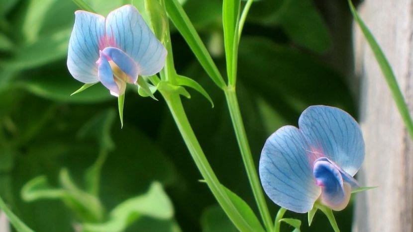 Almorta de flor azul