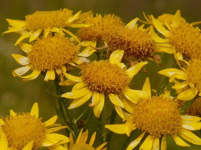 Arnica en flor