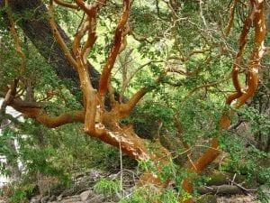 El árbol de arrayán tiene una corteza muy bonita