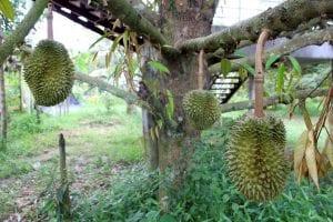 el origen del Durian lo encontramos en el sudeste asiático.