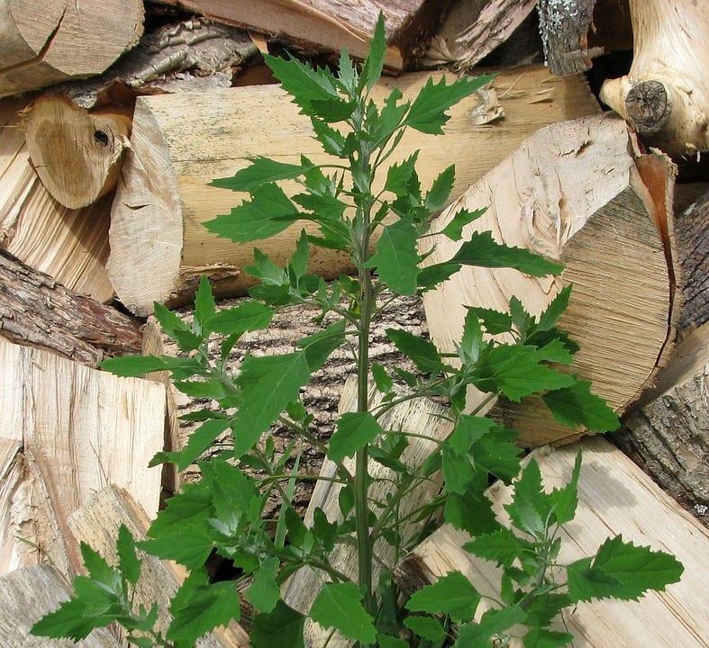 El cenizo es una hierba medicinal