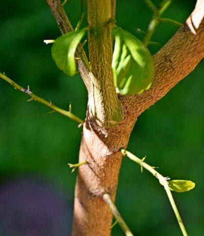 Tronco del Citrus australasica
