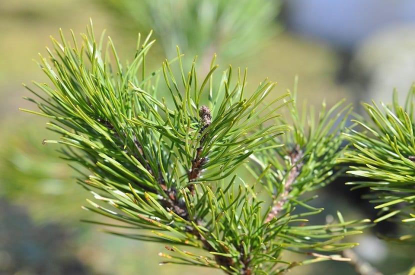 El pino siberiano es un árbol que destaca por el gran tamaño que alcanza