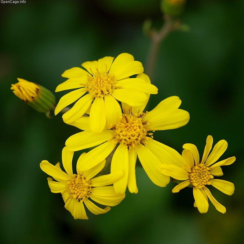 Flores de Farfugium