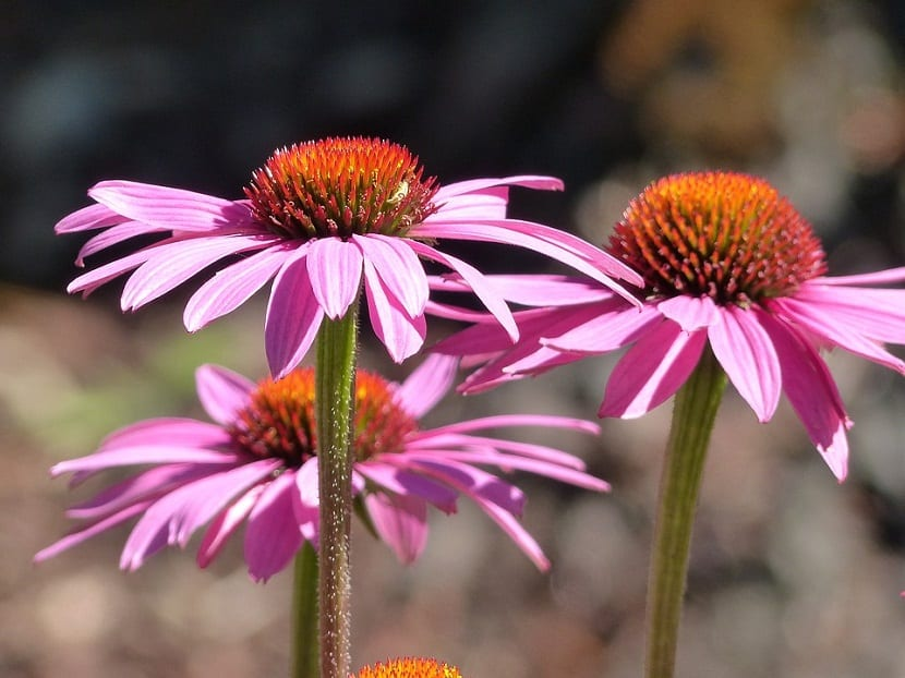 Rudbeckia o Echinacea Púrpura, comúnmente llamada Flor de cono