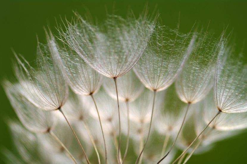 Flor de salsifis