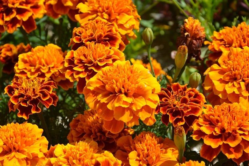 La planta del clavel de la India también llamada clavel turco, clavel moro o mariposa gardenia