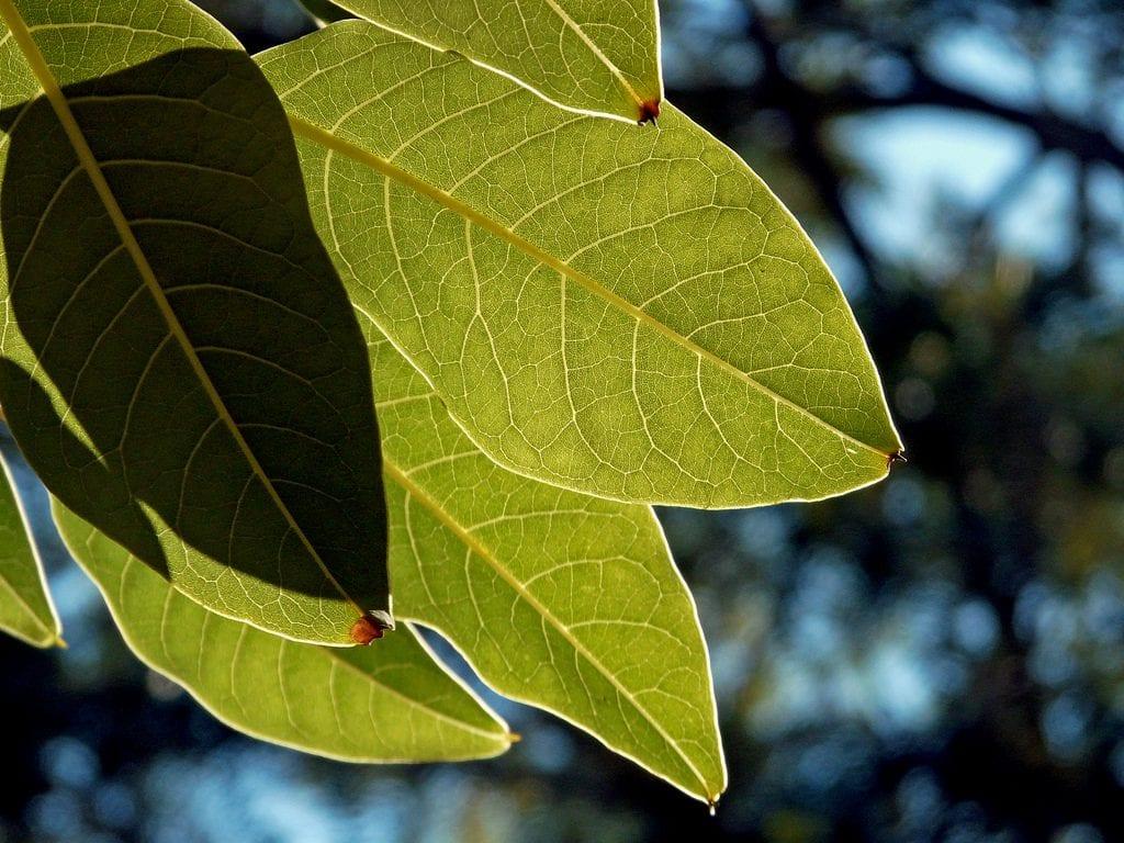 Las hojas del ombú son perennes