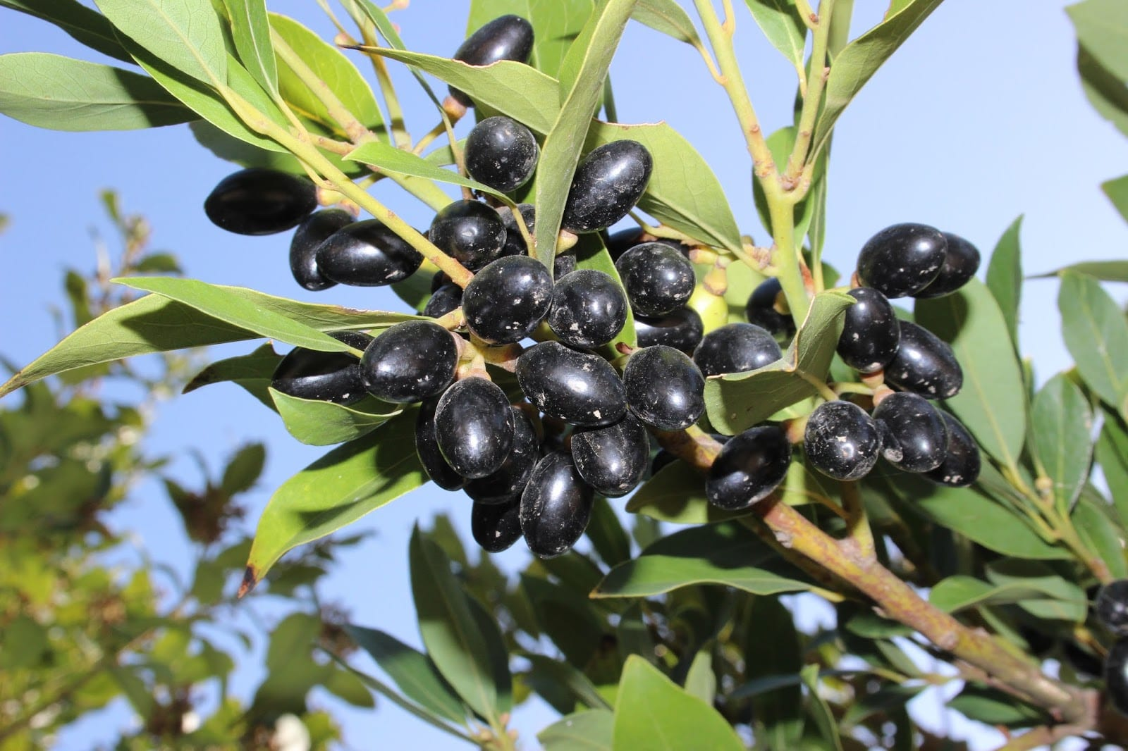 Laurel con frutos