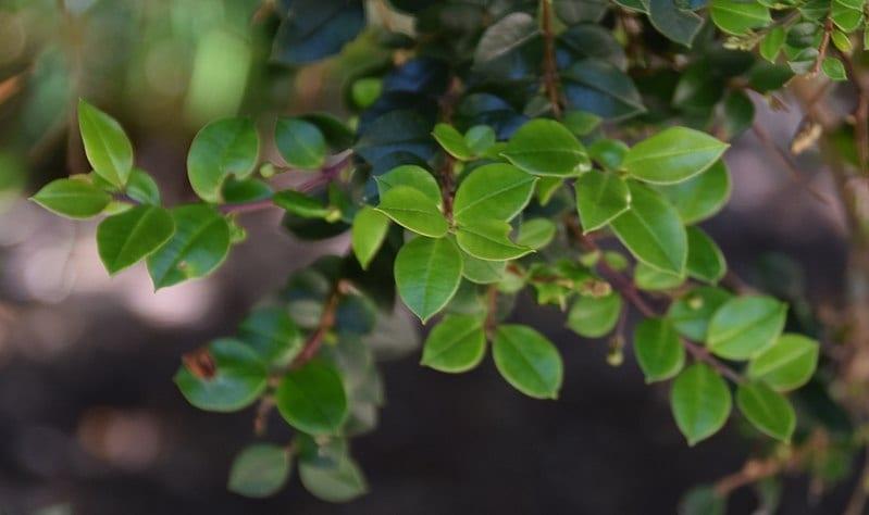 Las hojas del arrayán o Luma apiculata son pequeñas